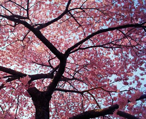 blossoming cherry trees level 10 day the small joys in life