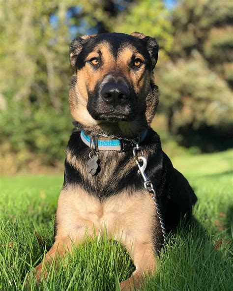8 Questions Answered about the German Shepherd Lab Mix ...