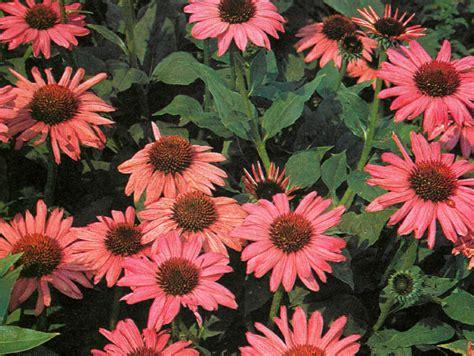 best hardy plants for borders hardy border plants