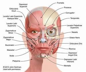 Facial Anatomy  U00ab Aestheticcare Org