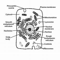 The Anatomy And Physiology Of Animalsthe Cell Worksheetcell Worksheet Answers Wikieducator