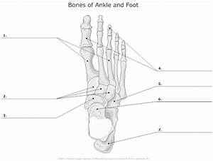 Bones Of Ankle And Foot Unlabeled