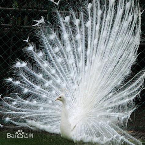 白孔雀图片 百度百科