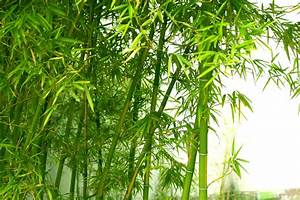 Zone 7 Bamboo Varieties – Best Types Of Bamboo For Zone 7