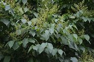 Best 25 ideas about japanese tree lilac find what youll love japanese lilac tree problems publicscrutiny Image collections