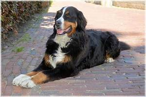Bernese Mountain Dogs – Fun Facts and Crate Size – Pet ...