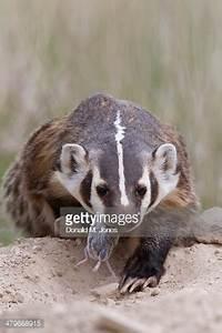 American Badger With Prey National Bison Range Moise ...