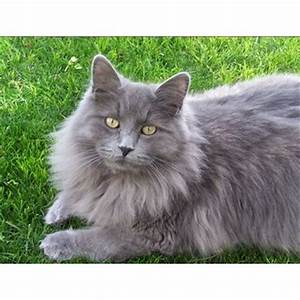 8 Best G R E Y C A T Images On Pinterest Gray Cats Grey