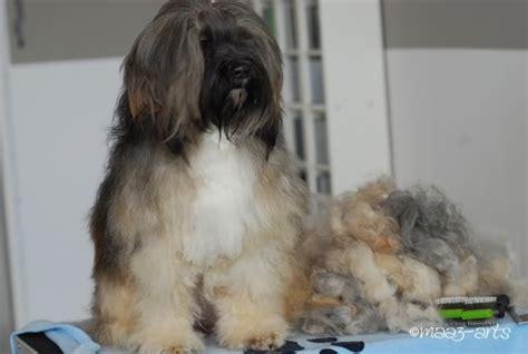 tibet terrier rangshi hobbyzucht das lange fell