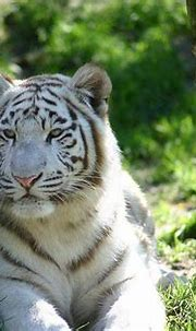 White Tigers Wallpapers - Wallpaper Cave