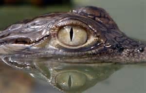 Rainforest Animals Crocodile