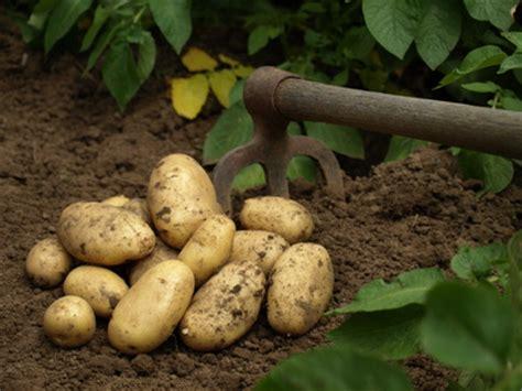 pomme de terre planter cultiver r 233 colter pratique fr