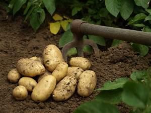 Période Pour Planter Les Pommes De Terre : pomme de terre planter cultiver r colter ~ Melissatoandfro.com Idées de Décoration