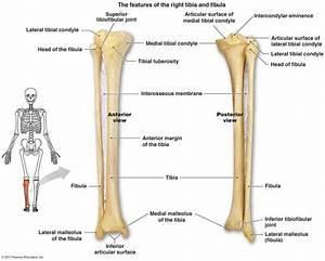 Osteo Tibia  Fibula  Foot