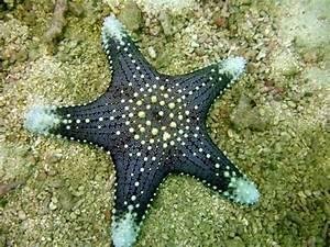 Etoile De Mer Dofus : 25 best starfish ideas on pinterest ~ Medecine-chirurgie-esthetiques.com Avis de Voitures