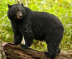 Rainforest Black Bear