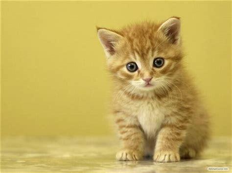 gratis  gambar wallpaper kucing pereda stress