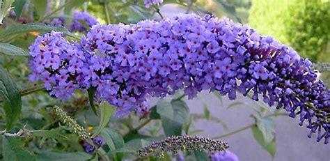 Flieder Pflanzen Schneiden Und Vermehren by Bl 252 Tenstr 228 Ucher Ganz Einfach Vermehren