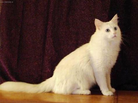 Turkish Angora Cat Breed Facts #2 ♡kitty Cat Tv♡
