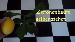 Aprikosenbaum Selber Ziehen : zitronenbaum selber ziehen z chten pflanzen so wirds gemacht zitronenkern einpflanzen youtube ~ A.2002-acura-tl-radio.info Haus und Dekorationen