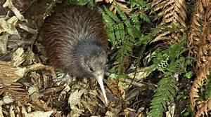 North Island Brown Kiwi : Birding NZ
