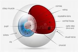 Internal Structure Of The Human Eye Stock Vector
