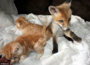 is a fox a or cat fox cub blinded by car befriends three adorable