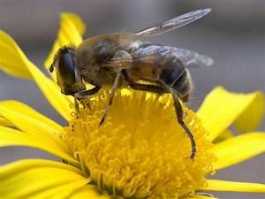 Bienen Und Wespen : bienen hornissen hummeln und wespen stadt schl chtern ~ Whattoseeinmadrid.com Haus und Dekorationen