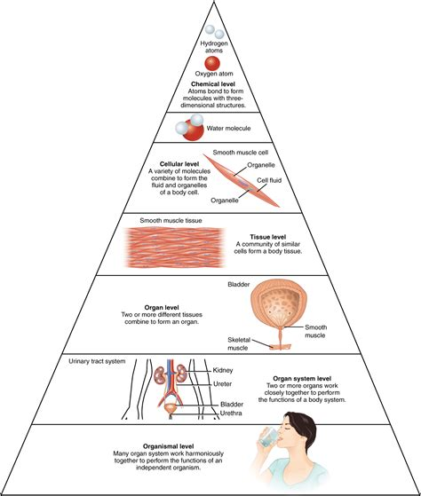 1 2 structural organization of the human anatomy and physiology