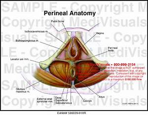 Medivisuals Perineal Muscle Anatomy Medical Illustration