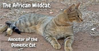 origin of domestic cats the wildcat ancestor of domestic cats playful kitty