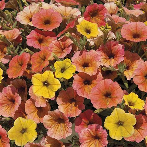 Petunia Cascadia Indian Summer Plants From Mr Fothergill's