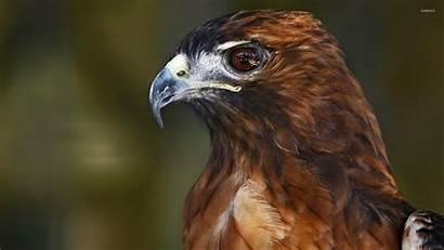 Hawk Hawks Wallpapers Adler Aquila Aigle Birds