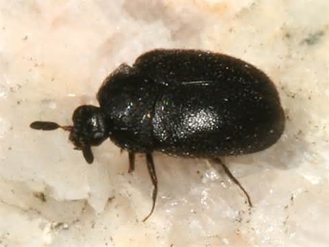 Black Carpet Beetle, Attagenus Brunneus (coleoptera Abc Carpet Warehouse Sale Red Inn Houston Tx Best Shampooer On The Market Stainmaster Patterned Mikes Carpets Advert Extractor For Cord Concealer How To Soothe Burn