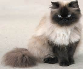 himalayan cat florida dials 911 after quot freaked out cat quot traps