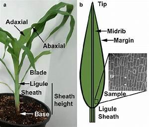 Representative Example Of A Maize Plant And Descriptions