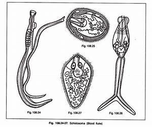 Genus Schistosoma  Blood Fluke   With Diagram