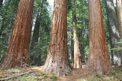 Trees Grove County Placer Wikipedia Giant