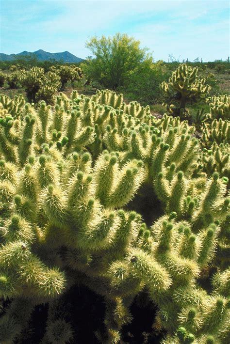 remove  cholla cactus ehow