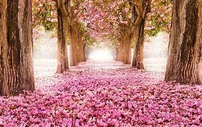 Cherry Blossoms Nature Wallpapers Definition Falling Summer
