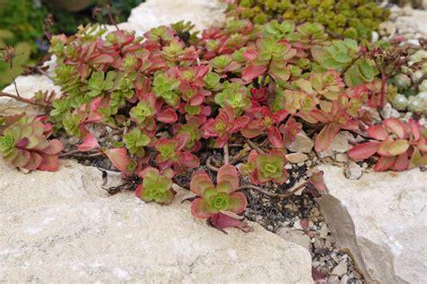 sedumpflanzen fuer dachbegruenung guenstig kaufen