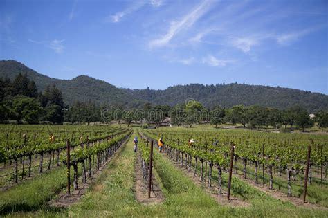 Workers Pruning Wine Grapes In Vineyard Editorial