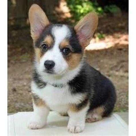 Pembroke Welsh Corgi For Rehoming For Sale Adoption From Penang Ayer Itam Adpost Com