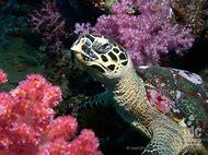 Sea Turtle Dive Depth