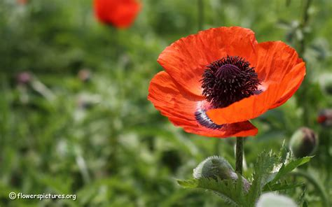 picture of poppy flowers flower pictures