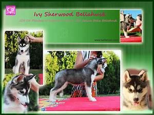 Husky Zu Verkaufen : siberian husky welpen zu verkaufen in bregenz tiere kleinanzeigen ~ Orissabook.com Haus und Dekorationen