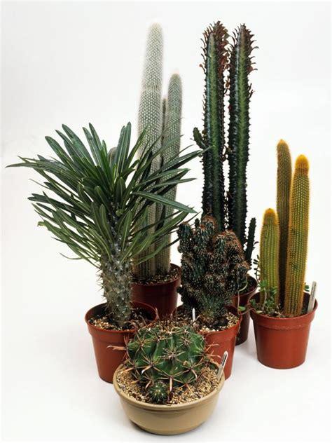 indoor flowering cactus plants image gallery indoor cactus flowers