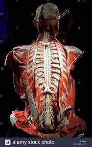 Plastinate  Human Back  Spinal Cord And Nervous System