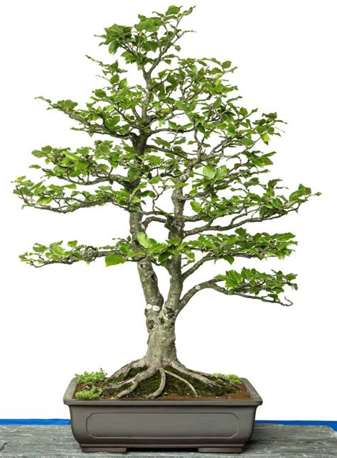 Bonsai Baum Pflanzen by 25 Best Ideas About Bonsai Baum On