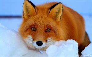 Red Fox Wallpaper | Free Hd Wallpapers